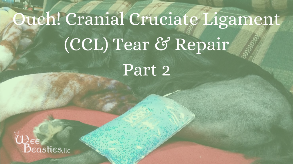 "Dog laying on couch with shaved leg and ice pack; Words ""Cranial Cruciate Ligament (CCL) tear and repair part two"