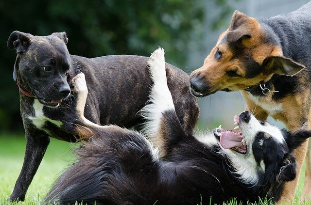 Three adult dogs playing at the dog park