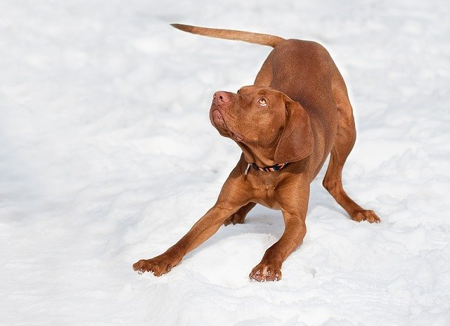 Young dog giving a play signal known as a play bow