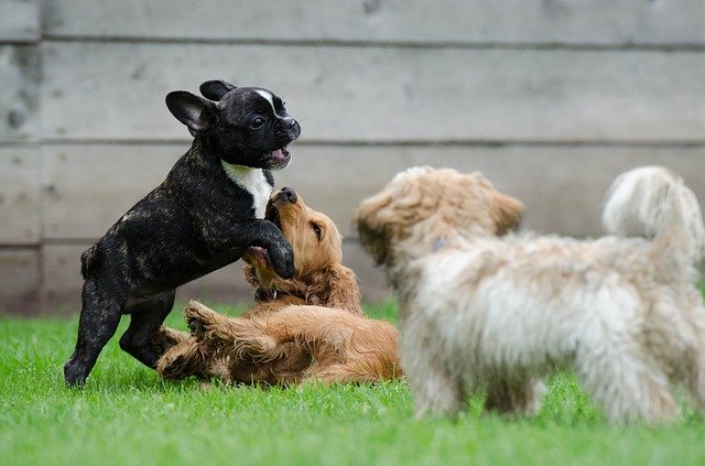 Three young puppies playing together at the dog park