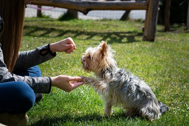 Yorkie training with their owner in a group class for dogs